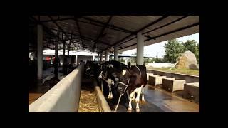 Dairy farming, small dairy farm video