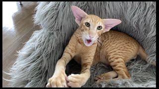 Oriental Cat Roy, Sound on