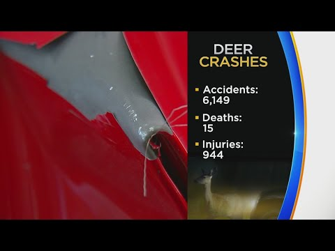 November Is Prime Time For Car-Deer Collisions