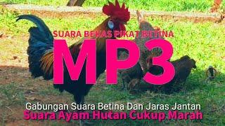 Gambar cover SUARA BEKAS PIKAT BETINA #MP3   ANAK BETINA TK