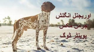 Garmen Shorthaird pointer Dog   English Pointer Dog   Beast Original Pointer Dog.