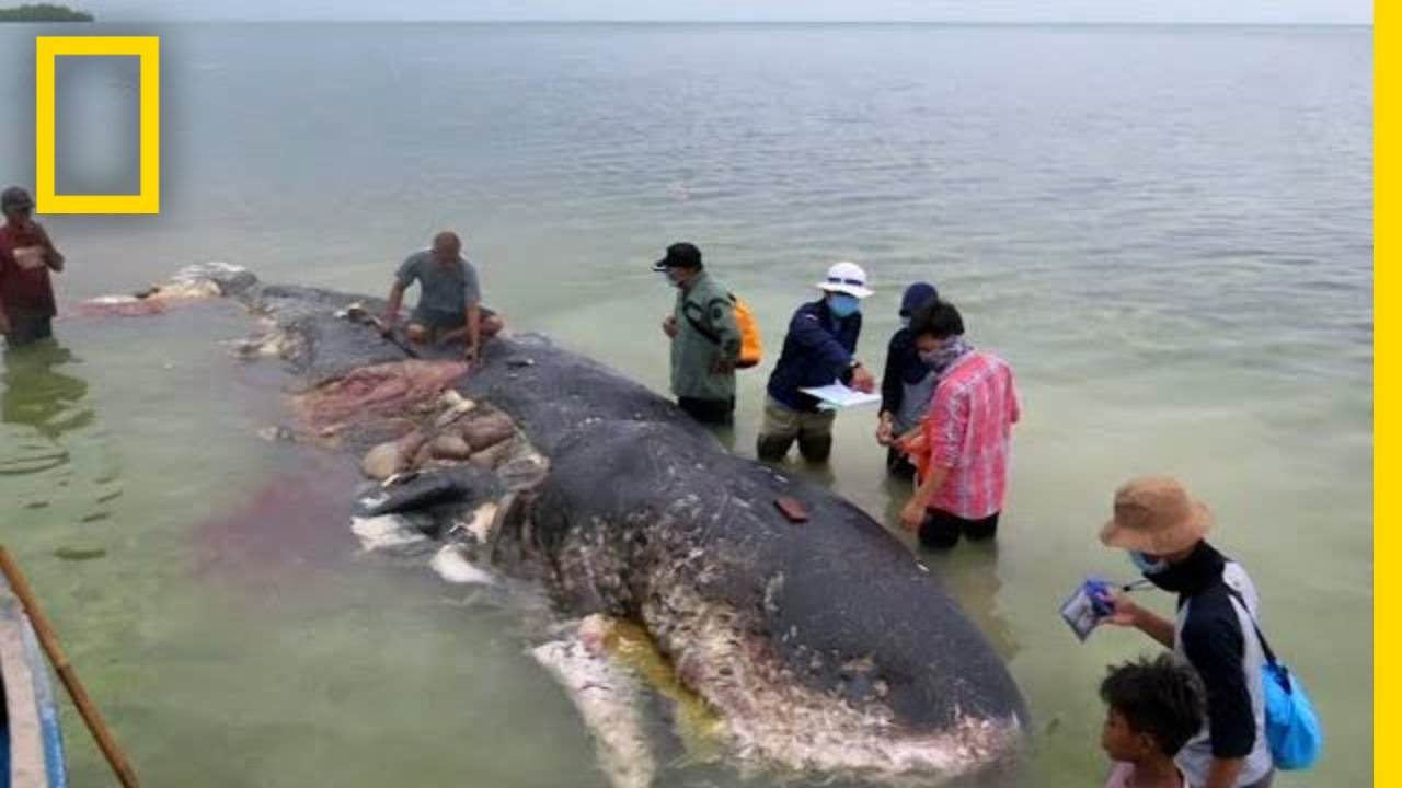 Dead Whale Found With 13 Pounds of Plastic in Stomach | National Geographic