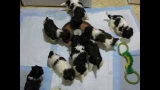Non Shedding Dogs, About Havanese, Breeder, Knoxville, Tn Puppies,sc, Ky, Va, Nc, Al