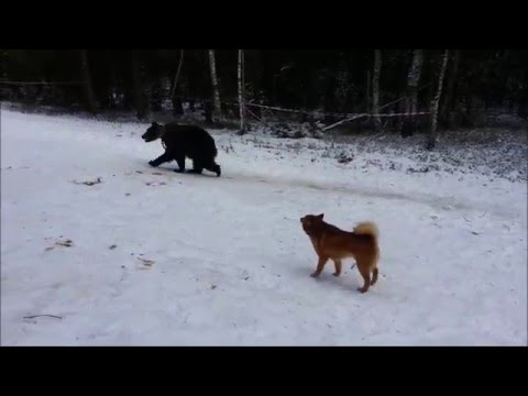 КФЛ Ритаа притравка по медведю.  Finnish spitz Ritaa . Training on bear