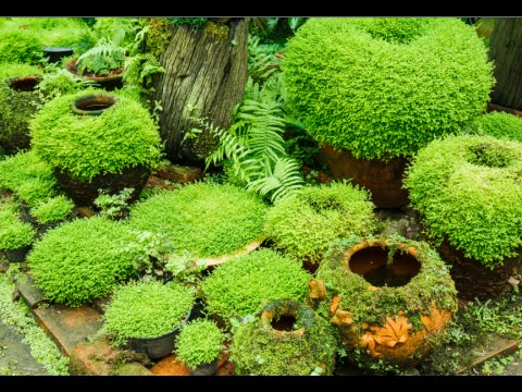 Superieur How To Grow Moss Garden Indoor   Moss Garden Indoor Tips   YouTube