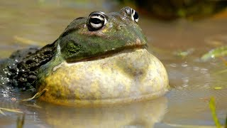 Screaming BullFrog Compilation 🐸 Frogs Are Funny 2019 🐸