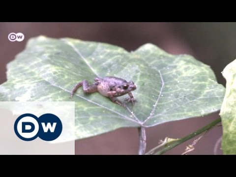 A superhero for Ghana's frogs | Eco-at-Africa