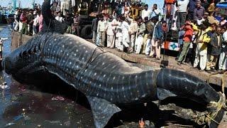 giant fish | big fish | fishing