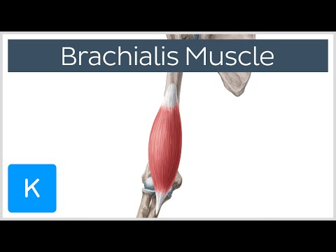Brachialis Muscle - Origin, Insertion, Innervation and Function - Human Anatomy | Kenhub