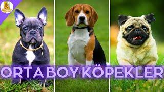 Orta Boy Evde ve Apartmanda Bakılabilecek 10 Zeki Köpek Cinsi #KÖPEK #DOG #EVDEBAKILACAKKÖPEKLER