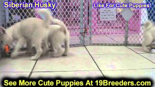 Siberian Husky, Puppies, For, Sale, In, Chicago, Illinois, Il, Carol Stream, Streamwood, Plainfield,