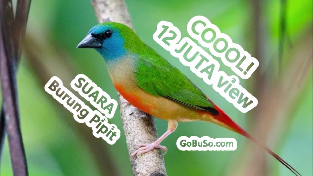 Download Suara Burung Pipit Sawah Gacor Mp3 Harga