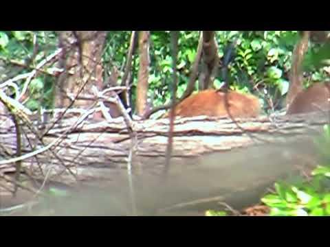Hunting Rusa deer in New Caledonia part 23