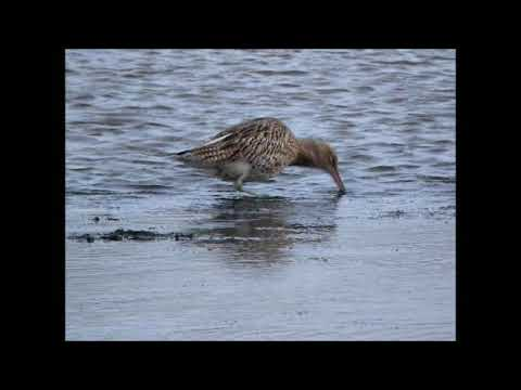 2017 10 Curlew   Gibraltar Point