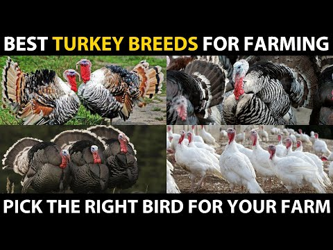 BEST TURKEY BIRD BREEDS - Heritage, White Holland, Royal Plam, Standard Bronze, Blue Slate Turkey
