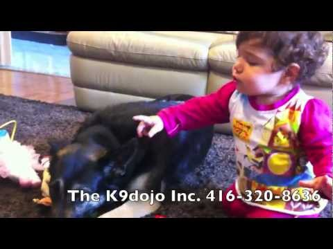 K9 BABY Defender German Shepherd Protection Dog VS bad Guy