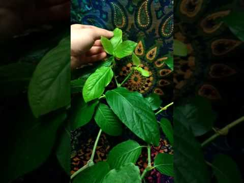 One of my indoor Kratom Trees * Approximately 6 months old * Bumblebee cultivar * Mitragyna speciosa
