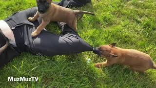 Malinois Puppies showing their love