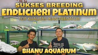 Review Farm IKAN ENDLICHERI PLATINUM Ikan Purba BHANU AQUARIUM Tambun Bekasi
