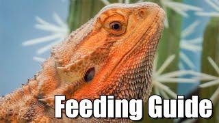 COMPLETE Bearded Dragon Feeding Guide