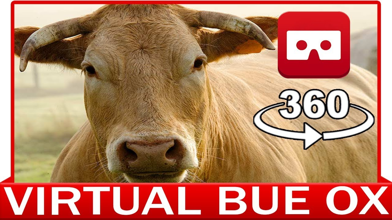 360° VR VIDEO - BUE OX - DISCOVERY NATURE & ANIMAL - VIRTUAL REALITY 3D