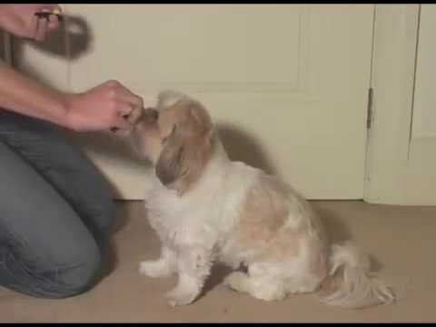 shih-tzu-learning-shake-a-paw-dog-trick