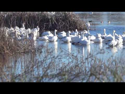 2016 12 24 Video-Colusa & Sacramento National Wildlife Refuges