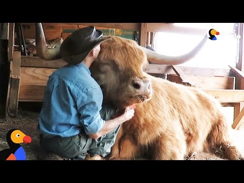 Cow Loves Getting Hair Brushed By Dad | The Dodo