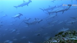 "Cocos Island (Isla del Coco) ""Mountain of sharks"" (HD DOKU 2015)"