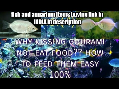 Why Kissing Gourami Not Eating Food??and How To Feed Them