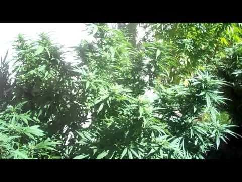 Outdoor marijuana growing: Budding Stage