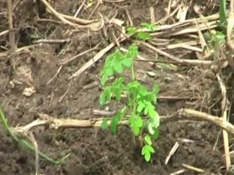 Moringa production farm Ghana