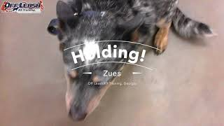 """3 Year Old Australian Cattle Dog """"Zues"""" Before/After Video 