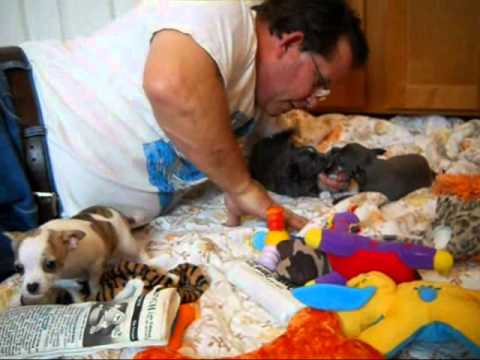 Blue Chihuahua Puppies For Sale In Oregon - Oregon Breeder -