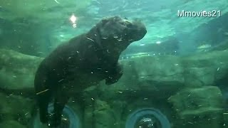 Hippopotamus at the Asahiyama Zoo, Hokkaido,Japan. [Momokichi] (mal...