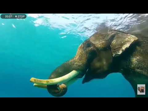 Mandela effect elephant swimming in the ocean