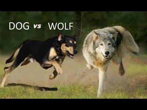Dog Vs Wolf Comparison
