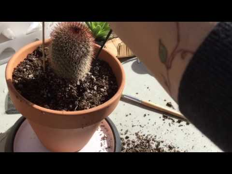 Repotting a cactus and useful tips and tools. Also, a review and demonstration of claw garden glove