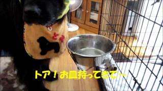 ニューファンドランド犬、トアがご飯を食べてます。