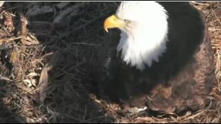 Decorah Eagles North 2nd Egg arrived 3 09PM CT 02 22 2017