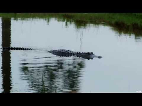 Bow Hunting Alligators On The Bayou