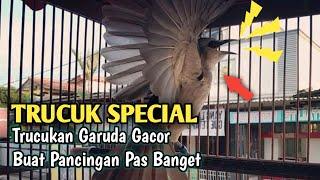 Download Lagu Suara Burung Trucukan Jantan Special Garuda Mwantap mp3