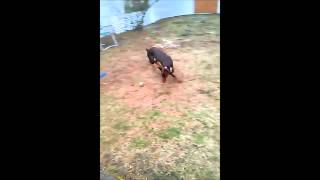 Doberman Pinscher Exercising