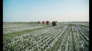 Xinjiang cotton harvested in 2021 with high mechanized rate
