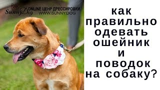 Как правильно одевать ошейник и поводок  на собаку?