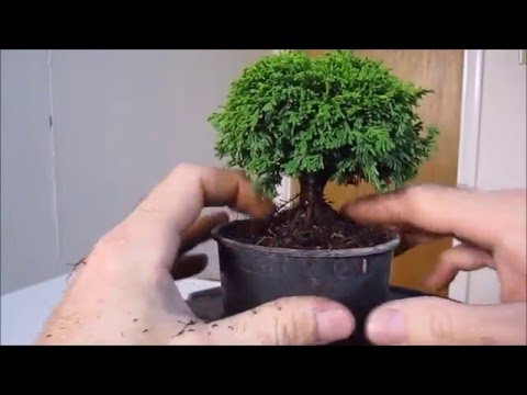 How To Make A Bonsai Tree From A Nursery Stock Tsukumo