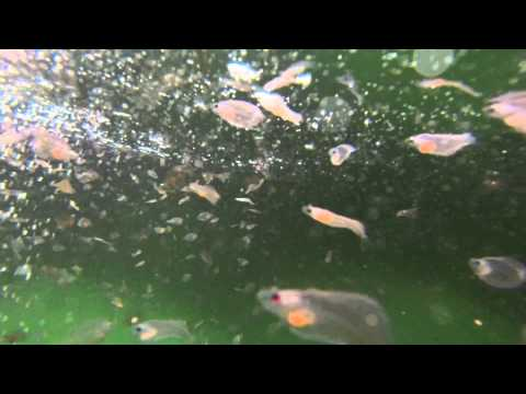 Atlantic halibut larvae eating Artemia and listening to music....   Kveitelarver i kar på Austevoll.