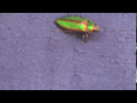 jewel beetle jewel beetle