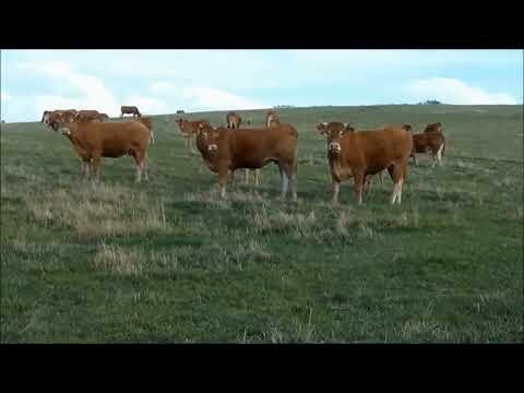 sonido de la vaca.Sonidos cortos de animales