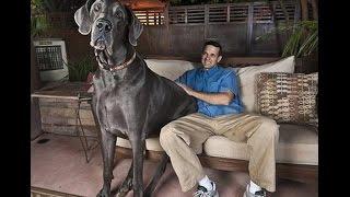 O maior cachorro do mundo, pelo Guiness, Dog Alemão.